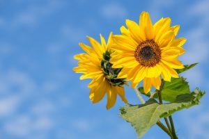 ภาษาดอกไม้ดอกทานตะวัน
