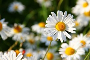 ภาษาดอกไม้ดอกเดซี่