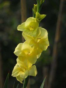 ภาษาดอกไม้ดอกแกลดิโอลัส