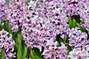 ภาษดอกไม้ดอกไฮอะซินท์