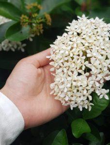 ดอกกมะลิ สัญลักษณ์วันแม่ประเทศไทย