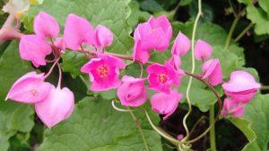 ดอก Cadena De Amor สีชมพู สัญลักษณ์วันแม่ประเทศฟิลิปปินส์
