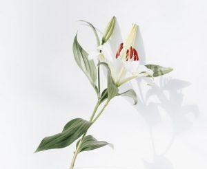 ดอกลิลลี่ สัญลักษณ์วันแม่ประเทศจีน
